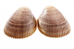 Deux coquilles de mer de mollusque d'isolement sur le fond blanc Photo libre de droits