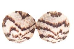 Deux coquilles de mer de mollusque d'isolement sur le fond blanc Photographie stock
