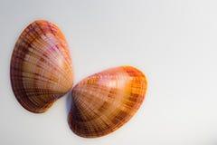 Deux coquilles de mollusque d'isolement sur un fond blanc Photographie stock