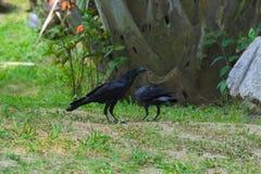 Deux corneilles noires à la recherche de nourriture, en parc thaïlandais luxuriant de jardin photographie stock