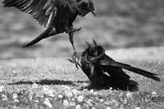 Deux corneilles noires dans le conflit photographie stock
