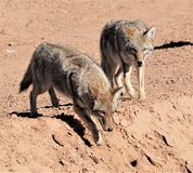 Deux coyotes Photo stock