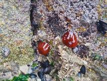 Deux créatures de mer collées à une roche Image libre de droits