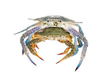 Deux crabes de natation bleus, sur le fond blanc Photographie stock libre de droits