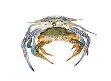 Deux crabes de natation bleus, sur le fond blanc Images stock