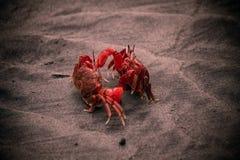 Deux crabes rouges combattant sur une plage image libre de droits