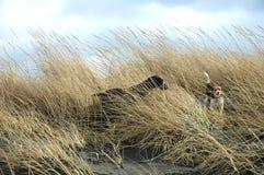 Deux crabots de chasse dans l'herbe Photo libre de droits