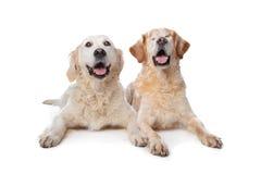 Deux crabots de chien d'arrêt d'or Photographie stock libre de droits