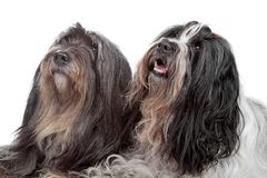 Deux crabots de chien terrier tibétain Images stock