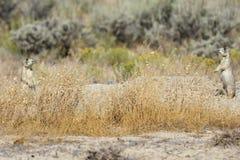 Deux crabots de prairie photos libres de droits