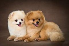 Deux crabots de race un spitz-crabot de Pomeranian dans le studio Image stock