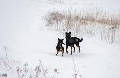 Deux crabots fonctionnant en hiver Photos stock