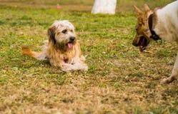 Deux crabots jouant à l'extérieur le chien est effrayé Chien sur l'herbe Images libres de droits