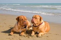 Deux crabots relaxed se trouvant à la plage Images libres de droits