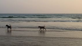 Deux crabots sur la plage au coucher du soleil banque de vidéos