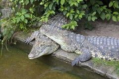 Deux crocodiles dans l'amour Image libre de droits