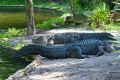 Deux crocodiles se reposant sur le bord de l'eau. Photos stock