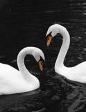 Deux cygnes Images libres de droits
