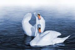 Deux cygnes Photo libre de droits