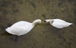 Deux cygnes Photographie stock libre de droits
