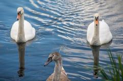 Deux cygnes adultes avec un jeune sceau sur un lac images stock
