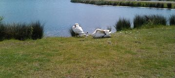 Deux cygnes blancs avec des sceaux images stock