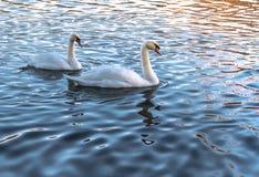 Deux cygnes blancs dans l'eau bleue au coucher du soleil photographie stock