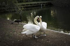 Deux cygnes blancs et un cygne noir en parc vert Londres Grande-Bretagne Images stock