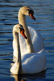 Deux cygnes blancs nageant Photos libres de droits