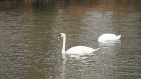 Deux cygnes blancs sur l'eau clips vidéos