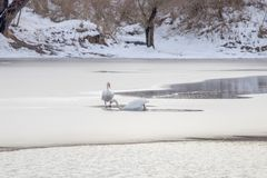 Deux cygnes blancs sur le lac congelé Lac congelé par hiver images stock