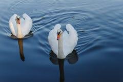 Deux cygnes blancs sur un lac Photographie stock