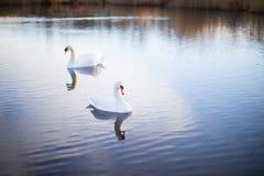 Deux cygnes blancs sur un lac avec la réflexion Images stock