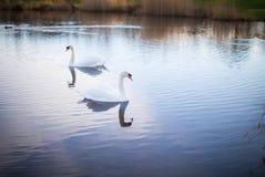 Deux cygnes blancs sur un lac avec la réflexion Image stock