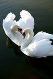 Deux cygnes d'amour Photo libre de droits