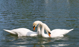 Deux cygnes dans l'amour Images stock