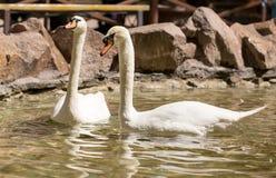 Deux cygnes dans le bain d'amour dans le lac Images libres de droits