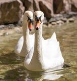 Deux cygnes dans le bain d'amour dans le lac Photos libres de droits