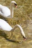 Deux cygnes dans le bain d'amour dans le lac Photo stock