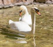 Deux cygnes dans le bain d'amour dans le lac Photo libre de droits