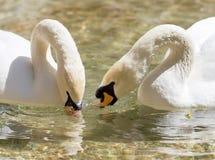 Deux cygnes dans le bain d'amour dans le lac Image libre de droits