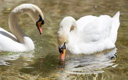 Deux cygnes dans le bain d'amour dans le lac Photos stock