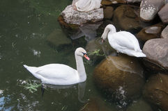 Deux cygnes dans un étang avec la sculpture antique Photographie stock