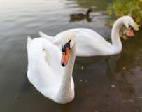 Deux cygnes dans un étang en nature Photographie stock
