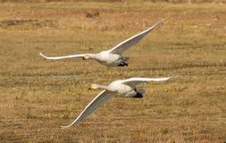 Deux cygnes de Whooper en vol photo libre de droits