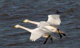 Deux cygnes de Whooper en vol images libres de droits