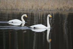 Deux cygnes de whooper simming dans l'eau au printemps Photo libre de droits