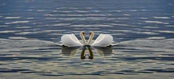 Deux cygnes faisant un coeur Photographie stock libre de droits