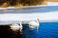 Deux cygnes flottent pendant l'hiver le long des eaux bleues de la rivière photo stock