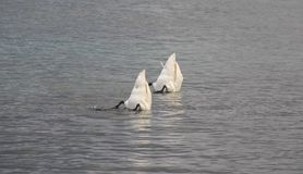 Deux cygnes forageant dans le lac geneva avec les bouts dans le ciel Photo libre de droits